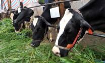 Hà Nam: Chăn nuôi phát triển ổn định