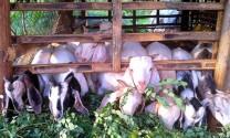Quảng Trị: Hiệu quả cao từ nuôi dê nhốt chuồng