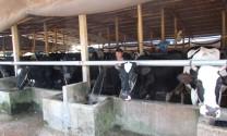 """Chuyện """"đầu ra"""" của những hộ mới chăn nuôi bò sữa"""