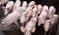 Thu tiền tỷ nhờ nuôi lợn, cá