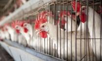 Hòa Bình: Ứng dụng tiến bộ trong chăn nuôi