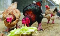 7 giống gà quý hiếm tại Việt Nam