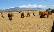 Vân Canh (Bình Định): Tăng cường bảo vệ GSGC trong mùa nắng nóng
