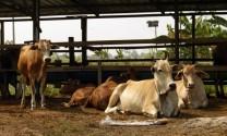 Bắc Kạn: Phát triển chăn nuôi những tháng cuối năm