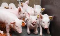 Phương pháp nuôi lợn con sau cai sữa
