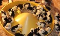 Giá giống vật nuôi ngày 21/7/2015