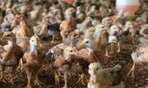 Bình Định: Hiệu quả chăn nuôi gà trên nền đệm lót sinh học