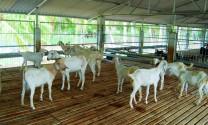 Chăn nuôi ở Indonesia: Hiệu quả nhờ phát huy thế mạnh