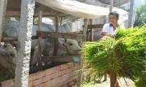 Chăn nuôi bò - mô hình giảm nghèo hiệu quả