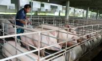 Nghệ An: Tìm đầu ra cho sản phẩm chăn nuôi