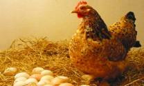 Để gà đẻ nhiều trứng...