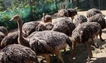Quảng Nam: Người dân không mặn mà nghề nuôi đà điểu