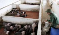 Tăng sức cạnh tranh cho ngành chăn nuôi
