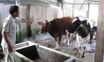 Giá bò sữa giống xuống thấp bất thường