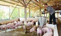 Làm giàu nhờ chăn nuôi heo gia công