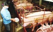 Chăm sóc vật nuôi mùa nóng