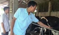 Bắc Ninh: Đột phá trong chăn nuôi bò sữa ở Tiên Du