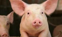 Đủ khả năng cung cấp con giống thương phẩm cho chăn nuôi heo