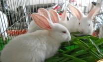 Sơn Động (Bắc Giang): Hỗ trợ nông dân 250 triệu đồng nuôi thỏ