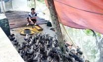 Người đầu tiên nuôi vịt trời ở Quảng Ninh
