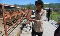 Trao tặng bò cho nông dân