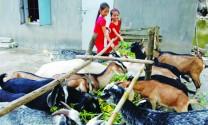 Hiệu quả nuôi dê tại Ninh Bình
