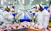 Gà Mỹ nhập khẩu bán rẻ hơn gà nuôi tại Việt Nam: Thức tỉnh người chăn nuôi!