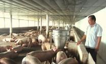 Hiệu quả từ mô hình chăn nuôi lợn an toàn sinh học