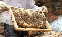 Nghệ An: Tăng thu nhập nhờ nuôi ong lấy mật
