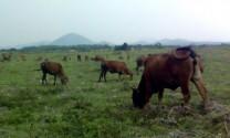 Kết quả thực hiện Đề án lai tạo đàn bò ở Vân Canh (Bình Định)