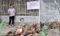 Hiệu quả mô hình nuôi gà thả vườn an toàn sinh học