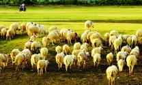 Vệ sinh thú y và phòng bệnh trên dê, cừu