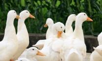 Bắc Giang: Chăn nuôi vịt thịt an toàn sinh học