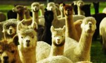 Lạc đà Alpaca - Nguồn cung thịt đỏ tiềm năng