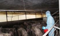 Kiểm tra đột xuất trại nuôi heo nghi vấn sử dụng chất cấm