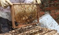 Thừa Thiên - Huế: Người nuôi ong điêu đứng vì mất mùa mất giá
