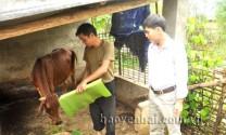 Nghĩa An (Yên Bái): Giảm nghèo bền vững từ phát triển đàn bò sinh sản