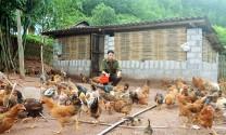 Hiệu quả mô hình HTX chăn nuôi và tiêu thụ gà Tiên Yên