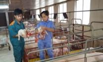 Hòa Bình: Toàn tỉnh có 17 trại nuôi lợn nái và hậu bị