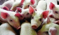 Phòng, trị bệnh tai xanh ghép với một số bệnh trên lợn