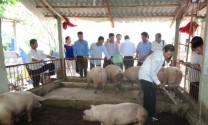 Thừa Thiên Huế: Nuôi lợn trên đệm lót sinh học hiệu quả tại Hương An