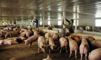 Liên kết tăng cạnh tranh cho ngành chăn nuôi