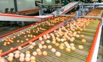 Ukraina: Ovostar xuất khẩu trứng gà sang Israel