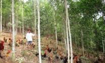 Hiệu quả từ nuôi gà vườn đồi