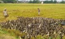 Giám sát dịch bệnh trong mùa vịt chạy đồng