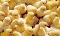 JSC Floreni, Moldova: Sản xuất 1 triệu gà giống/tháng