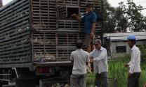Vĩnh Long: Định hướng phát triển chăn nuôi tập trung