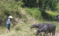 Lào Cai: Chủ động dự trữ thức ăn cho gia súc trong mùa đông