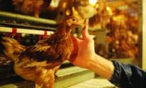 Trung Quốc: Ngành gia cầm bị ảnh hưởng do dịch cúm gà bùng phát tại Mỹ