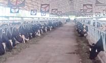 Thanh Hóa: Phát triển chăn nuôi bò sữa – bước đột phá của ngành chăn nuôi